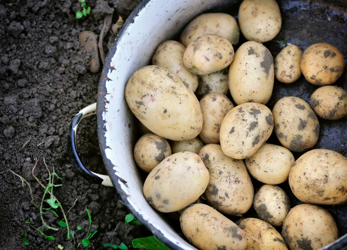 New potatoes in a bowl after being dug from the ground for catering service